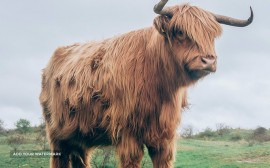 Old Highland cattle