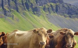 Braford Cows