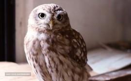 Southern white owl
