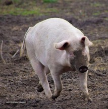 American Landrace pig