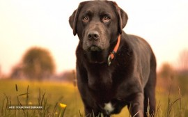 Brown Labrador Retriver
